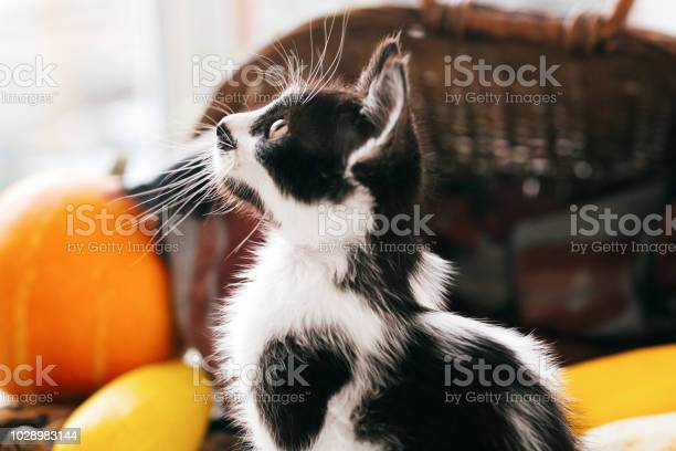 Cute kitty sitting in wicker basket with pumpkin and zucchini in on picture id1028983144?b=1&k=6&m=1028983144&s=612x612&h=yrglzkvhjpmexj7vaec11ji4wwgkqvcqkswhdhn6rus=