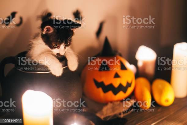 Cute kitty sitting in witch cauldron and jack o lantern pumpkin with picture id1029144212?b=1&k=6&m=1029144212&s=612x612&h=rzkpoqsjonjtm5nk38cvin9h8yqf0ia5ht9ldr3srlu=