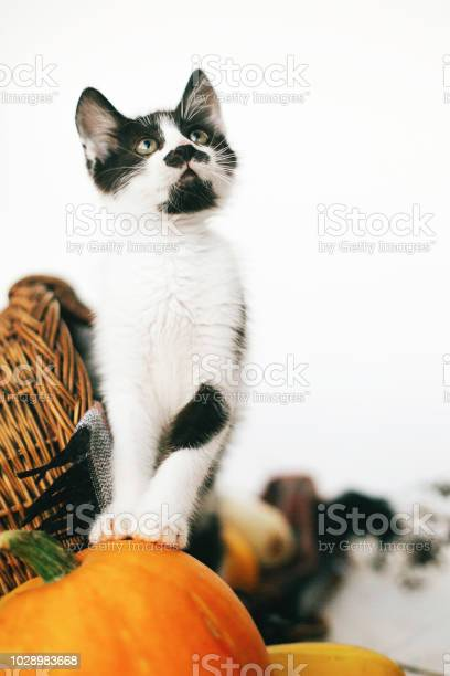 Cute kitty standing on pumpkin at cozy wicker basket and zucchini in picture id1028983668?b=1&k=6&m=1028983668&s=612x612&h=mhcgyjts9kbhixge1sldysacnsbgreee2748wzwukcq=