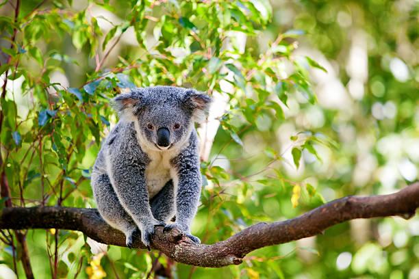 a cute koala climbing branch of a gumtree - koala stock photos and pictures