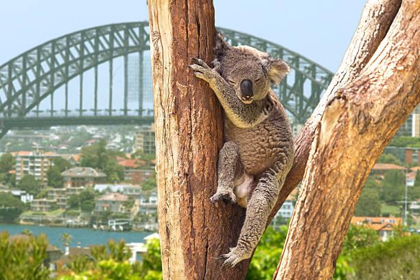 Cute Koala in Sydney, Australia Cute Koala in Sydney, Australia koala stock pictures, royalty-free photos & images
