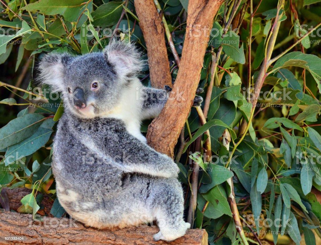 Cute koala looking on a tree branch eucalyptus stock photo