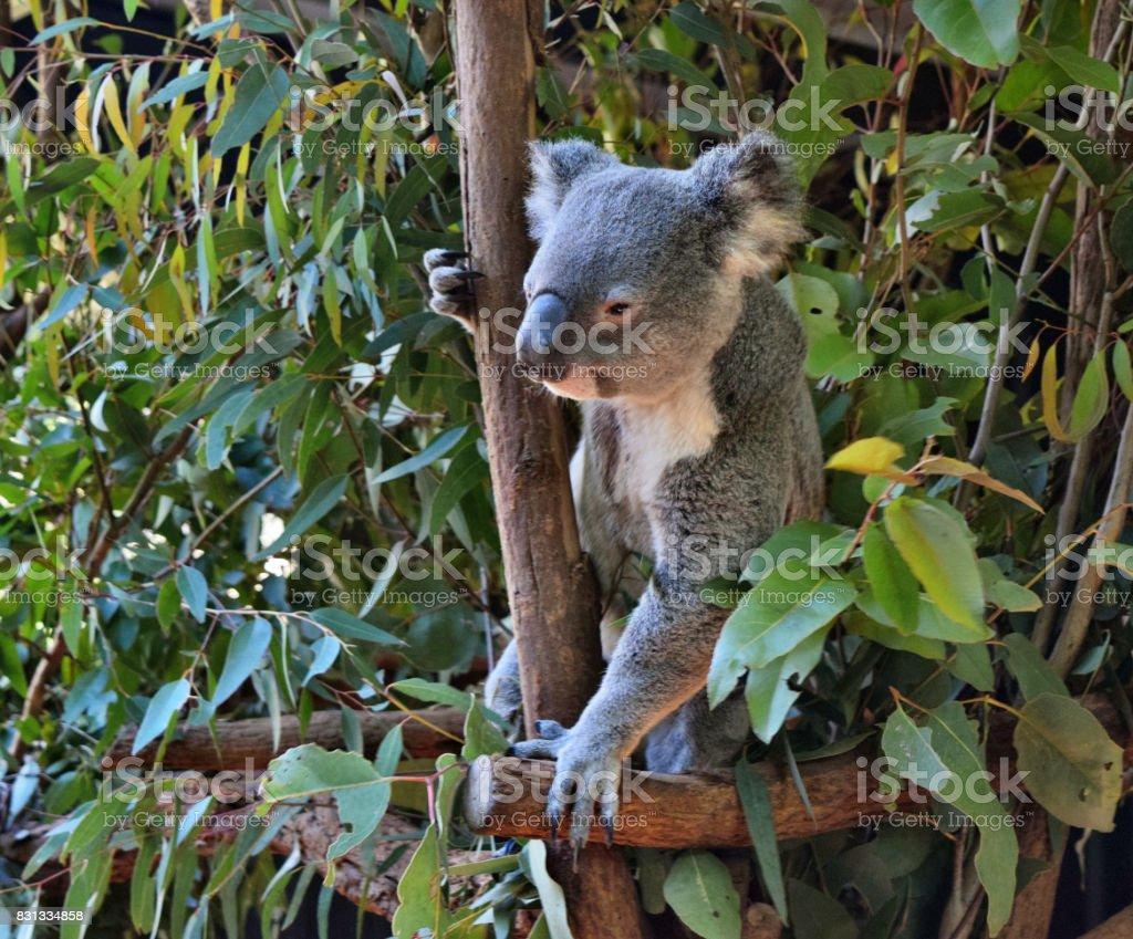 Cute koala looking stock photo