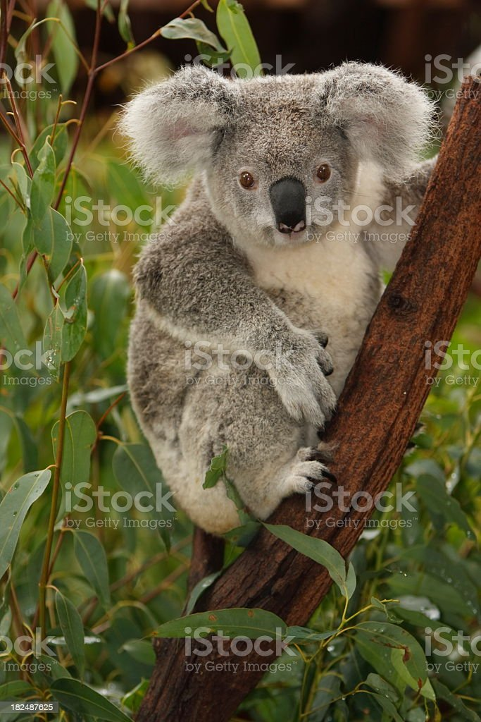 Cute koala on tree branch portrait stock photo