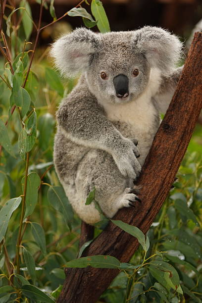 Cute koala on tree branch portrait A cute young koala looking directly at camera. Australia. koala stock pictures, royalty-free photos & images