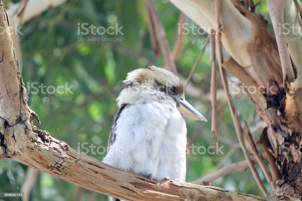 Kookaburra lindo - Foto de stock de Animal libre de derechos