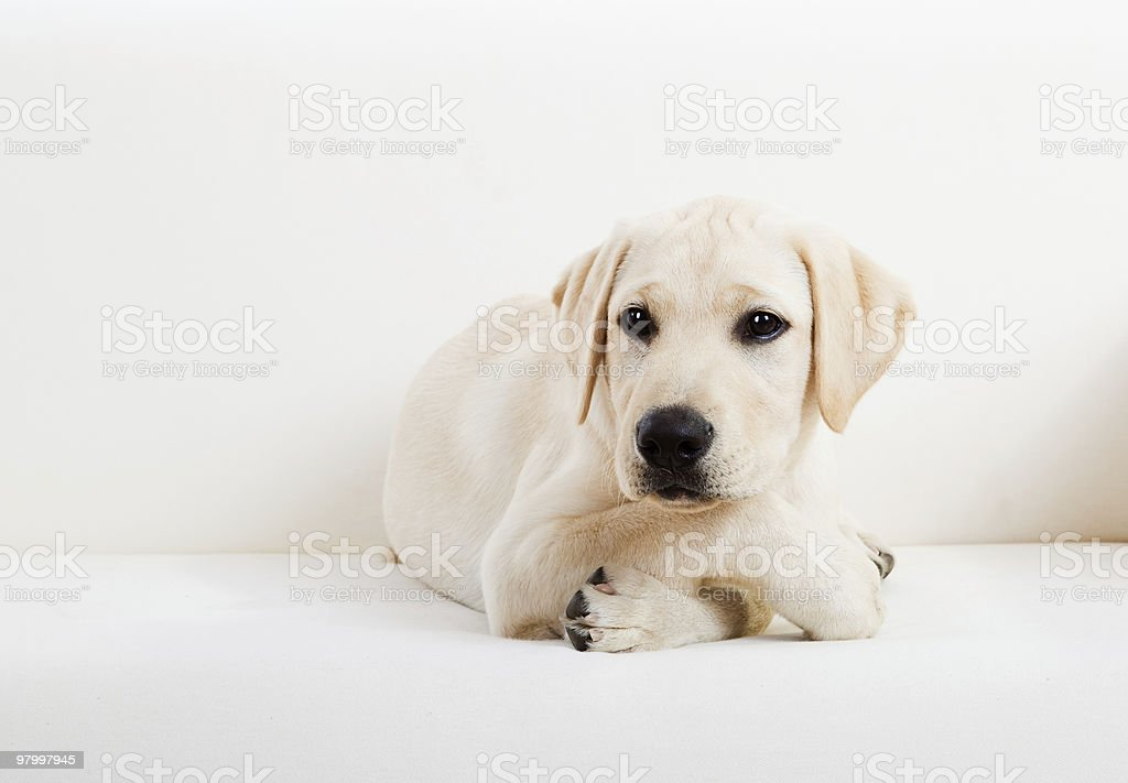 Cute labrador dog royalty free stockfoto
