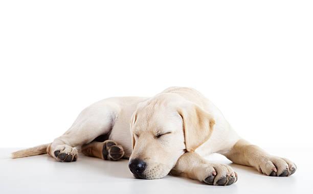 Cute labrador dog picture id97998136?b=1&k=6&m=97998136&s=612x612&w=0&h=oh1 jmy2dk216rm1ciiai rd145x03puvhyjzjuiy5y=