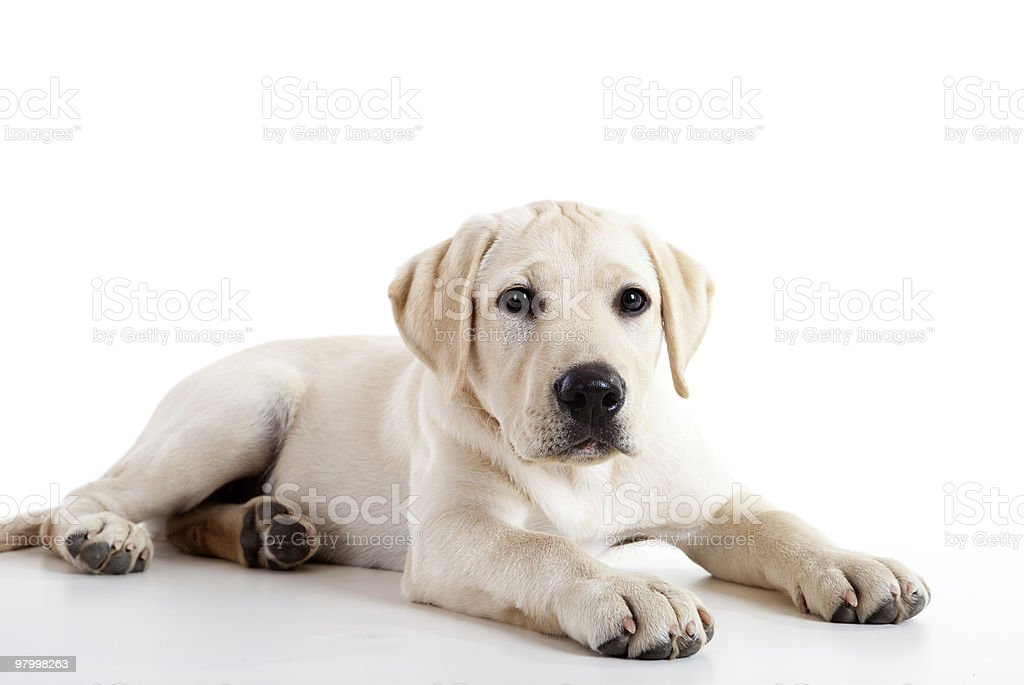 Cute labrador dog royalty free stockfoto