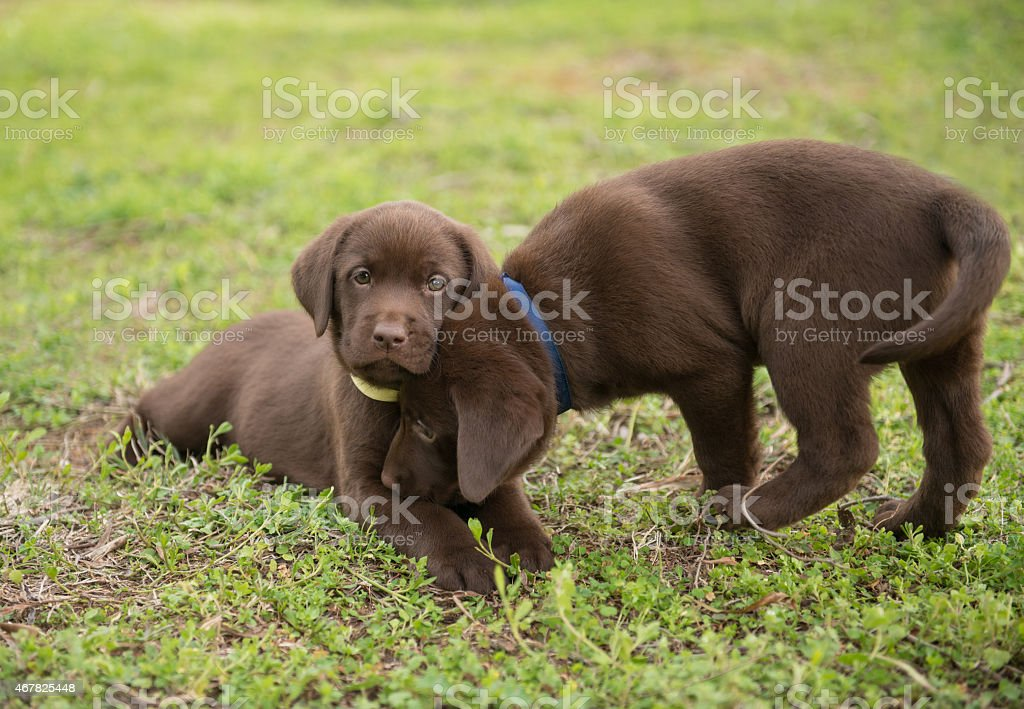 Cute labrador puppies on meadow stock photo
