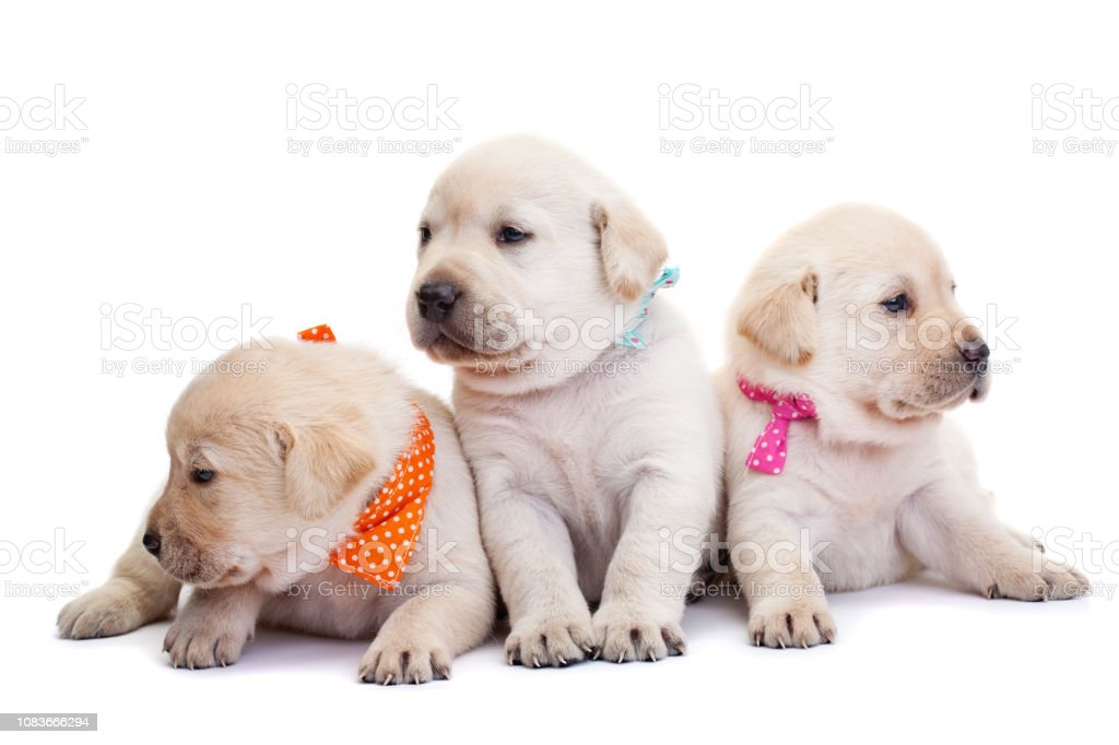 Cute Labrador Puppies On White Background Stock Photo Download Image Now Istock