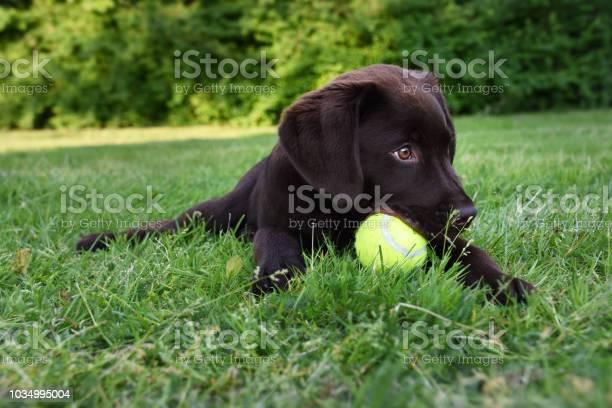 Cute labrador puppy dog lying down in green grass field playing with picture id1034995004?b=1&k=6&m=1034995004&s=612x612&h=7 pxkh0ok9irdkqavaw0pmgqu5cytdf0jig4py5lreg=