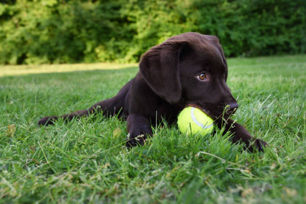 Cute labrador puppy dog lying down in green grass field playing with yellow tennis ball in mouth world animal day 4 october stock photo