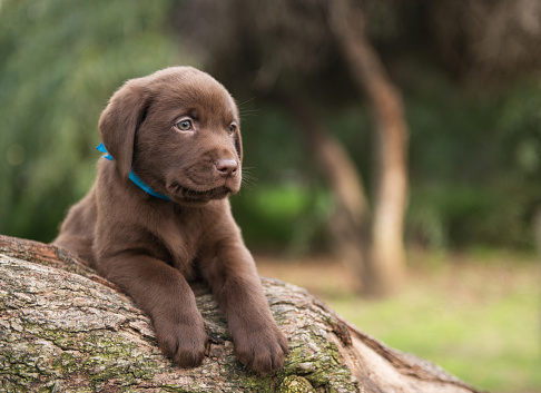 Close up portrait of a cute labrador puppy on tree with copy space to the right