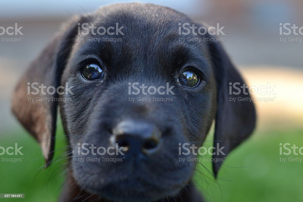 Cute Labrador Puppy Stock Photo Download Image Now Istock