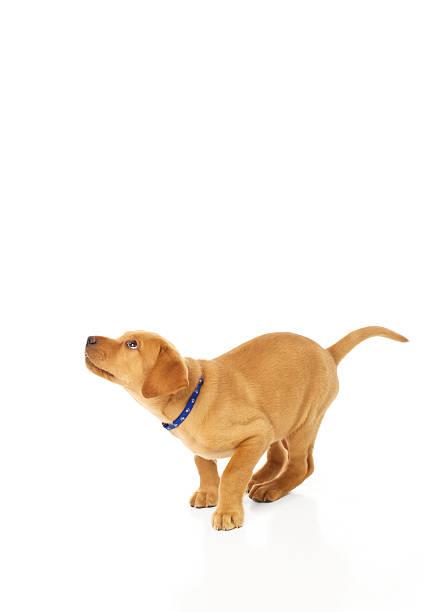 Cute labrador puppy preparing to pounce picture id158786894?b=1&k=6&m=158786894&s=612x612&w=0&h=v2geky6vf9mhchyaai aujvlijpl8ybv2 zxkijsjhy=
