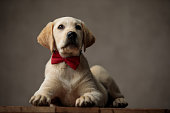 cute labrador retriever looking up and wearing red bowtie, laying down on wooden box, on beige background in studio