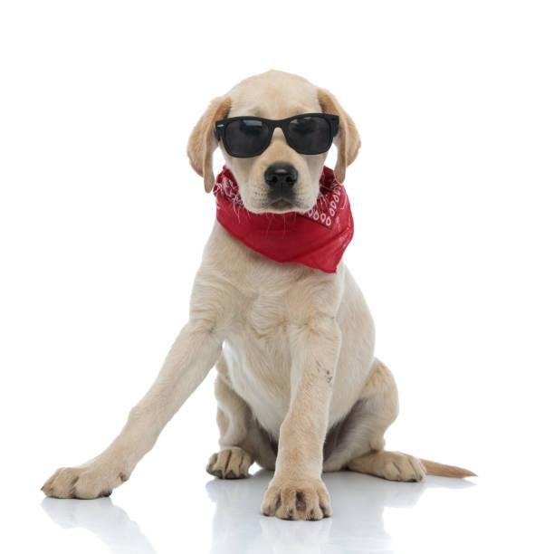 Cute labrador retriever puppy wearing sunglasses and red bandana picture id1171676241?b=1&k=6&m=1171676241&s=612x612&w=0&h=7 64isqxv2aw9v0wjqvfnlq8lfp6omlvtb6sloxcx3y=