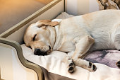 Cute Labrador Retriever sleeping, laying on its side in the bed in the room, viewed in close-up