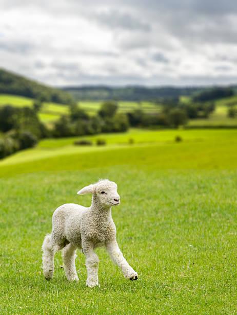 Mignon agneau dans une prairie dans le pays de Galles et du Yorkshire Dales - Photo