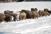 istock Cute lamb in snow with many sheep in winter meadow 1208227641