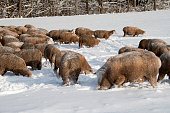 istock Cute lamb in snow with many sheep in winter meadow 1208227644