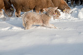 istock Cute lamb in snow with many sheep in winter meadow 1208227672