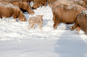 istock Cute lamb in snow with many sheep in winter meadow 1208227674