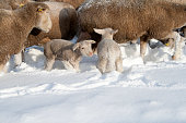 istock Cute lamb in snow with many sheep in winter meadow 1208227691