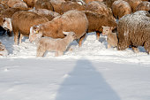 istock Cute lamb in snow with many sheep in winter meadow 1208227696