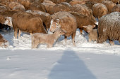 istock Cute lamb in snow with many sheep in winter meadow 1208227702