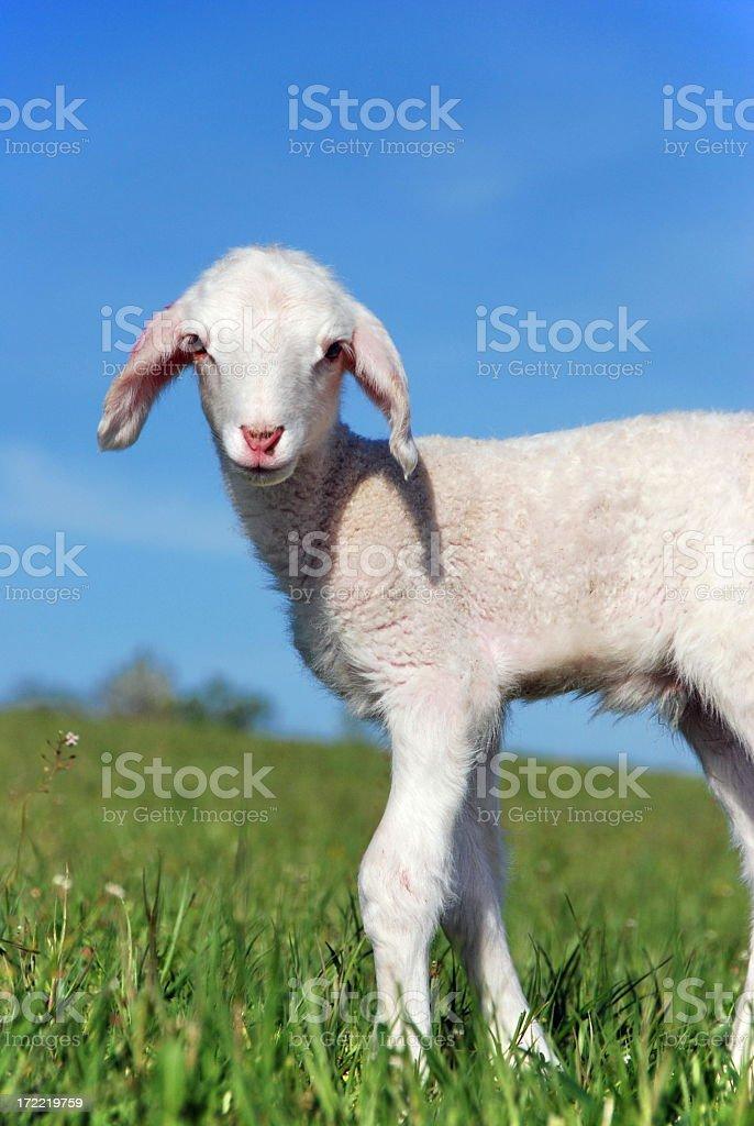 Cute lamb royalty-free stock photo