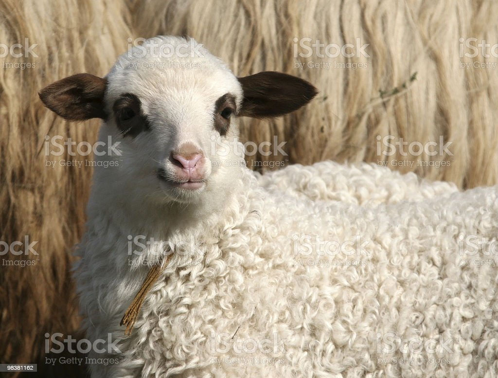 Cute Lamb royalty-free stock photo