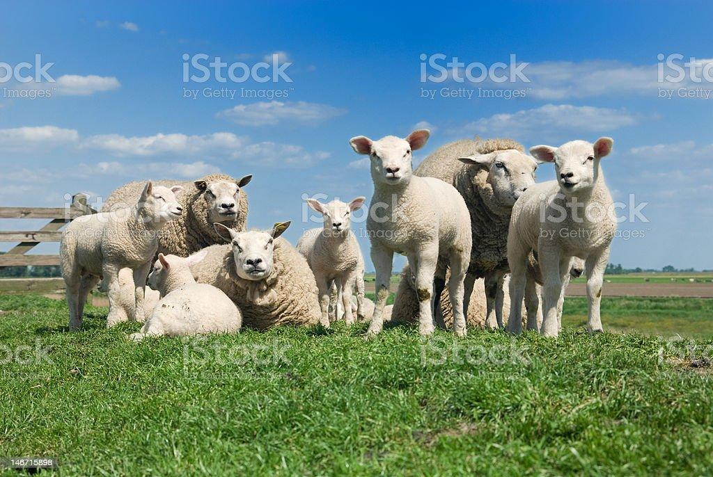 Süße lambs – Foto