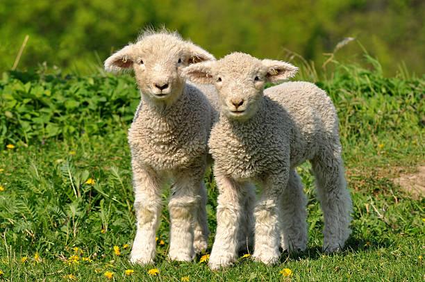 cute lambs stock photo
