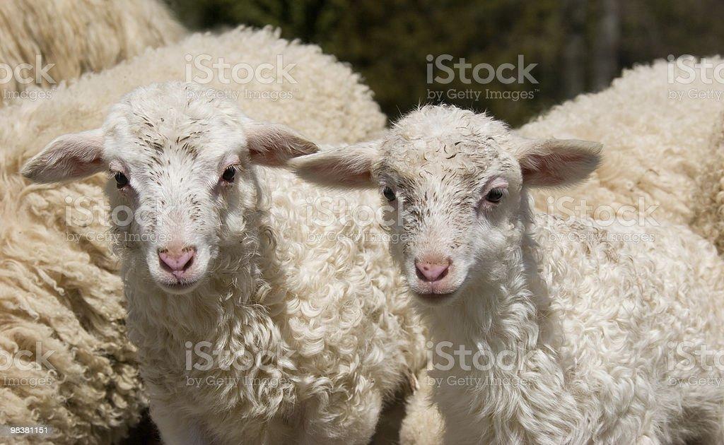 Pecore Carino foto stock royalty-free