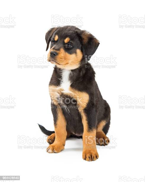 Cute large bred puppy with angry expression picture id954428540?b=1&k=6&m=954428540&s=612x612&h=71ys guttjqscxu8ohfegxoc2aa2ah9574duuz32cis=