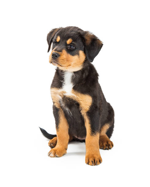Cute large bred puppy with angry expression picture id954428540?b=1&k=6&m=954428540&s=612x612&w=0&h=bh4yf7fyasewxcbe4hgkngxnpab6bw7 ul8a1cgtply=