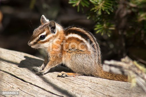 Looking cute, a least chipmunk runs across a log and briefly stops in Rocky Mountain National Park, Colorado.