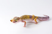 Black lizard on white background for your design
