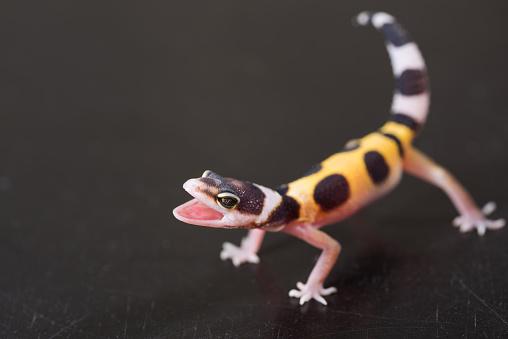 A cute leopard gecko stands in a defensive posture. Little lizard (Eublepharis Macularius).