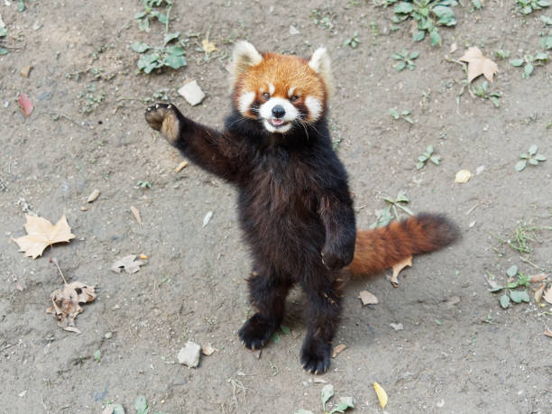 Cute lesser panda (red panda) standing with its legs and tail, waving paw to ask for food, acting like say hello, funny animal behavior. stock photo