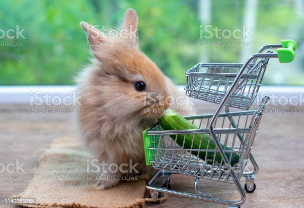 Cute light brown rabbit eat cucumber in shopping cart on wood table picture id1142389354?b=1&k=6&m=1142389354&s=612x612&h=uljxn2fw1pstplouxwgtdj8l3jq4exliczp6hw4s hy=
