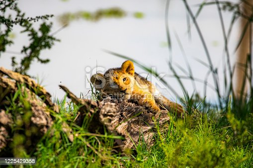 Cute lion cub lying down on a log staring at the camera during golden light in the morning. Photographed in the Maasai Mara plains Kenya, Africa.