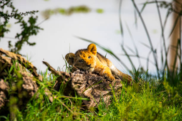 Cute lion cub lying down on a log staring at the camera stock photo