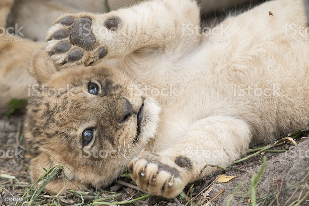 Cute lion cub playing in the wild stock photo