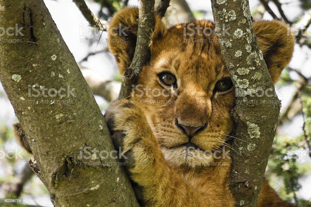 Cute Lion Cub Portrait royalty-free stock photo