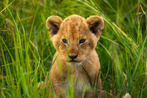 Cute lion cub sitting in the long grass looking at camera stock photo