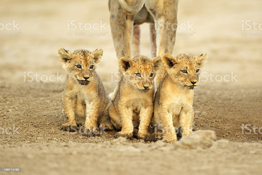 Cute lion cubs stock photo