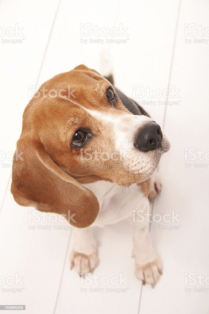 Cute Litlle Hound royalty-free stock photo